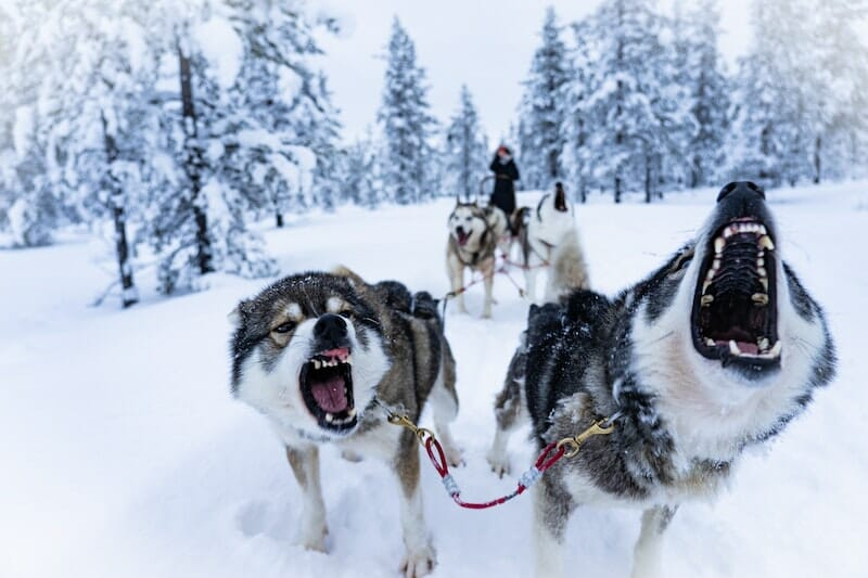 sled dogs threatening the viewer